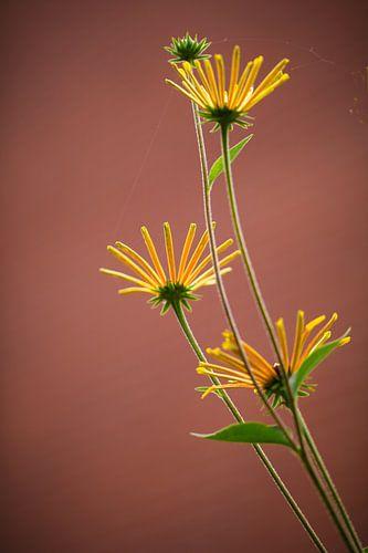 Rudbeckia 'little henry'  van Lily Ploeg