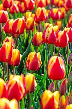 Tulipfield von Wouter van Woensel