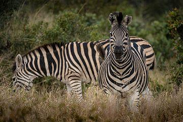 Schillernde Zebras von Andreas Jansen