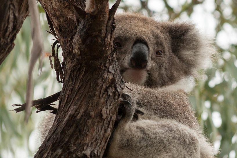 Ontwakende Koala van Chris van Kan