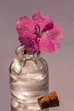 Anjerbloem met waterdruppels van Dafne Vos