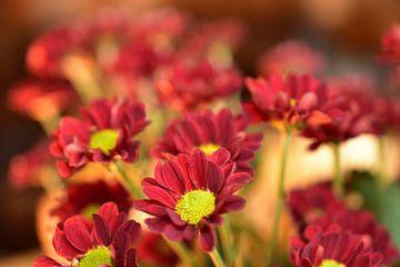 Rote Chrysanthemen von Philipp Klassen