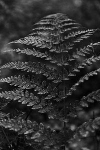 Detailfoto varen in het bos in zwart-wit   Natuurfotografie van Christien Hoekstra