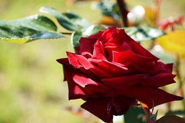 Schöne tiefrote Rose von Wieland Teixeira