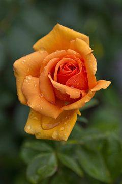 Rose nach dem Regen von Anja B. Schäfer