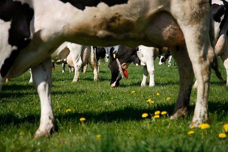 Weidenden Kühen