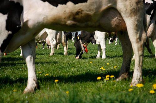 Weidenden Kühen von Jan Sportel Photography