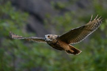 Eurasian Eagle Owl ( Bubo bubo ) in noiseless gliding flight along a steep face, bushes of an old qu van