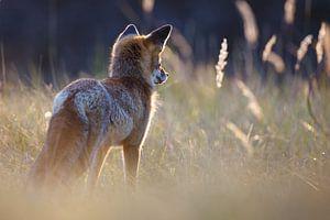 Jagende vos