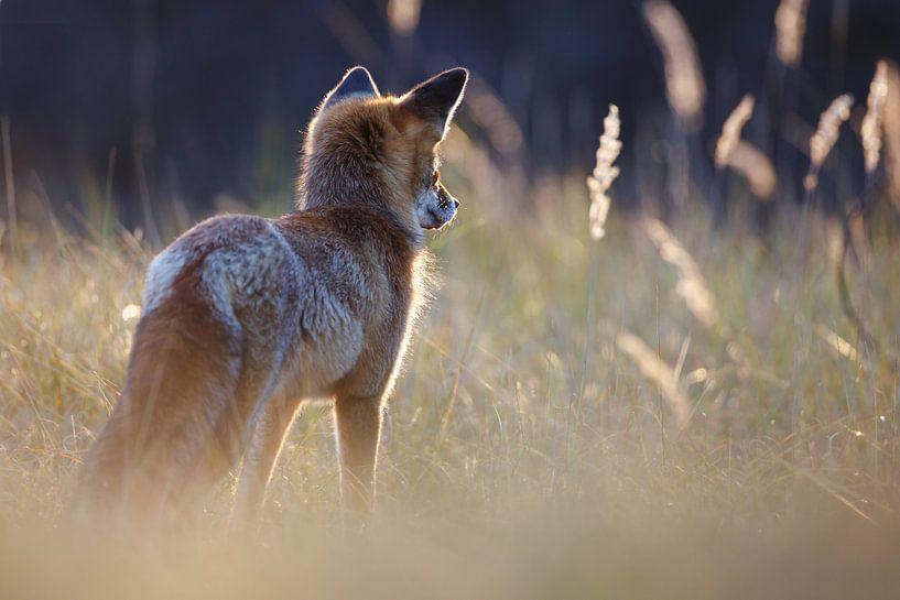 Jagende vos van Pim Leijen