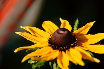 Blume wie Sonnenschein von wil spijker