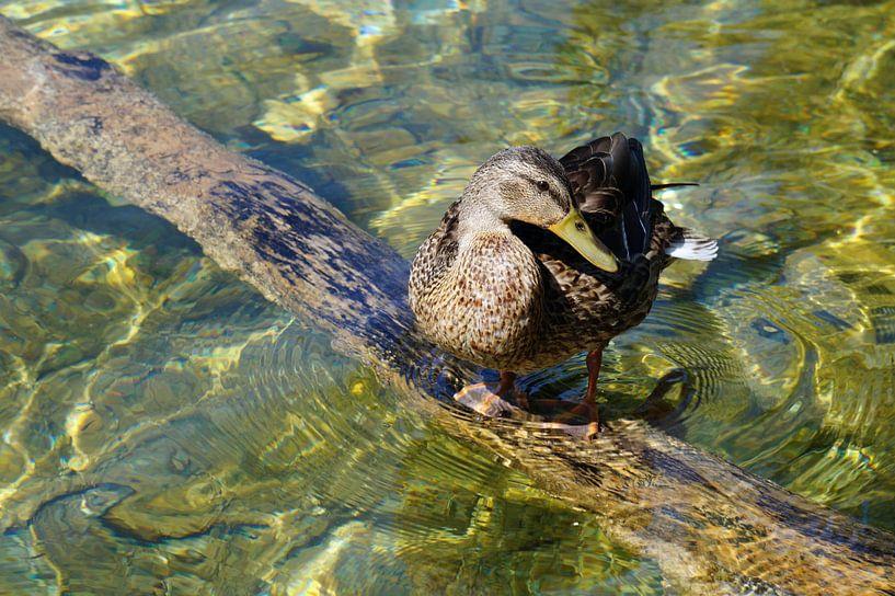 Ente am Teich von Babetts Bildergalerie