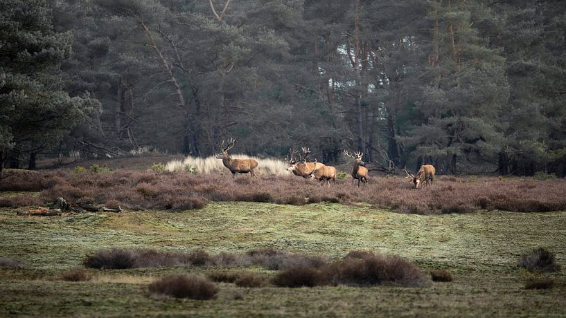 Cerf rouge sur le Hoge Veluwe sur Ton Drijfhamer
