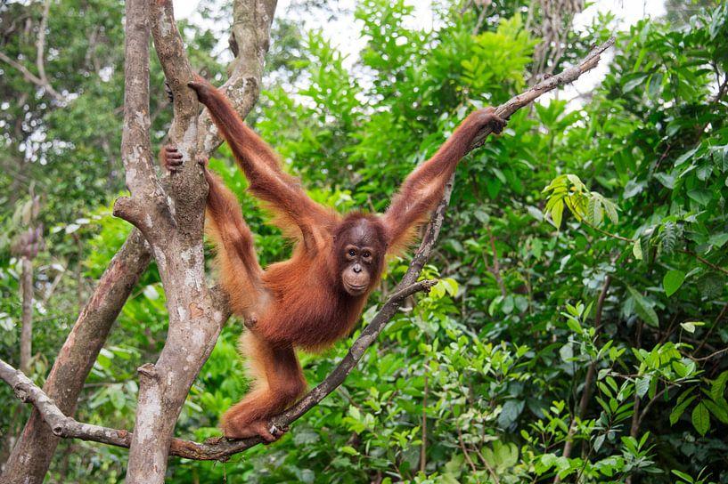Borneose Oran-oetan (Pongo pygmaeus) sub-adult in een boom van Nature in Stock