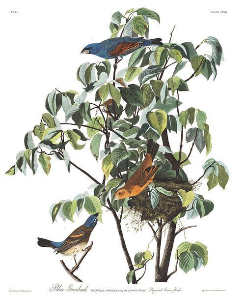 Blauwe bisschop van Birds of America