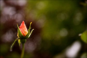 Roos in de lente. van Scarlett Bus
