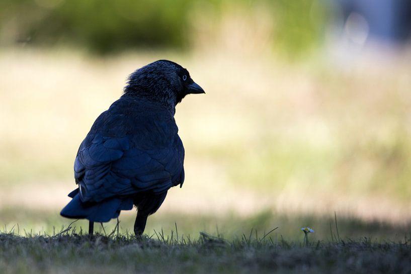 Nahaufnahme des Rückens einer schwarzen Krähe. von N. Rotteveel