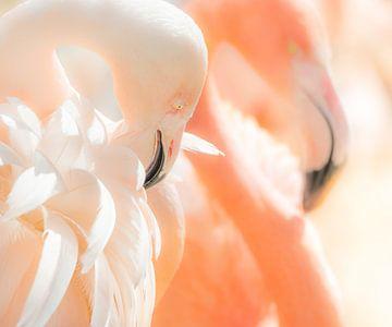 Flamingo's  sur Harrie Muis
