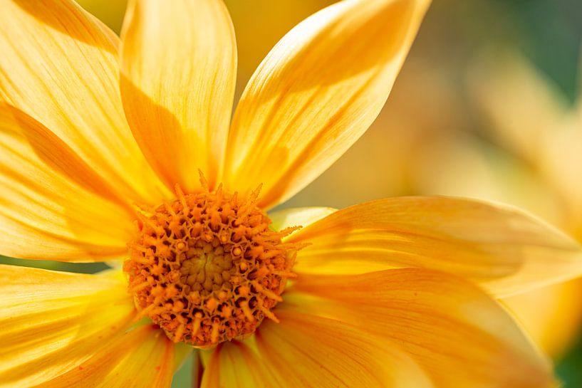 Fleur jaune sur Anneke Hooijer