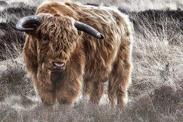 Schotse Hooglander van Henri van Avezaath