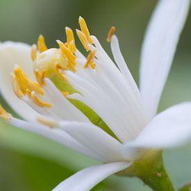 Macrofoto van bloem  van citrusplant van Peter Apers