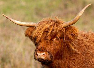 Schottischer Highlander mit grünem Hintergrund