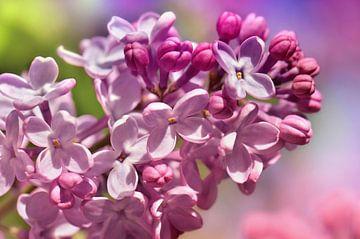 Pink Lilac van Violetta Honkisz