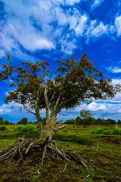 Boom met de wortel boven de grond in het Bargerveen. van Lisanne Bosch