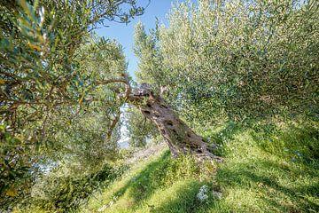 Olivenbaum in einem Olivenhain in Griechenland von Ellis Peeters
