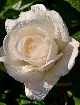 Witte roos met regendruppels van Mariska Wondergem