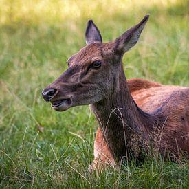 Liegende Hirschkuh im Gras von Deimel Fotografie