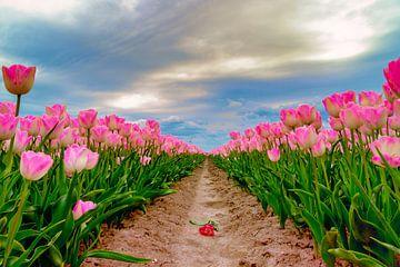 Tulips Flevoland, The Netherlands von Han Kedde