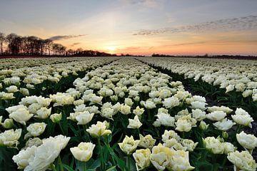 Witte tulpen bij zonsondergang van John Leeninga