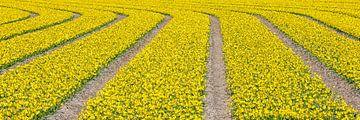lijnenspel van gele bloemen in panorama