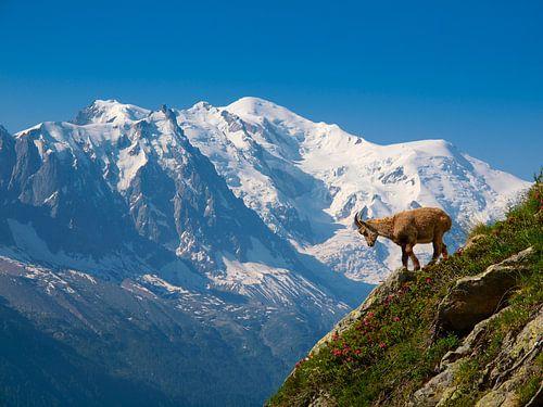 Jonge steenbok voor de Mont Blanc van