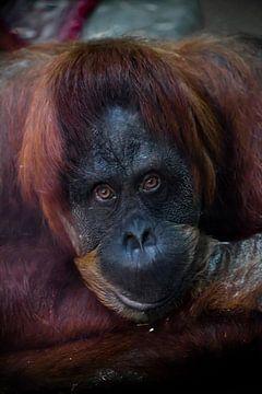 Kluge Gesichts-Orang-Utan aus nächster Nähe. Phlegmatischer, leicht ironischer Blick von Michael Semenov