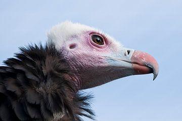 Weißkopfgeier : Tierpark Blijdorp von Loek Lobel