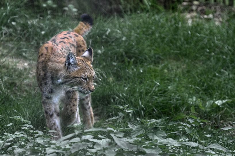 Lynx van BL Photography