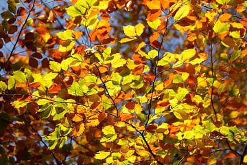 Bunt verfärbtes Herbstlaub an an einer Buche