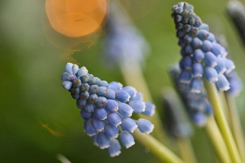 Muscari, blauwe druif met bokeh van Lindy Schenk-Smit