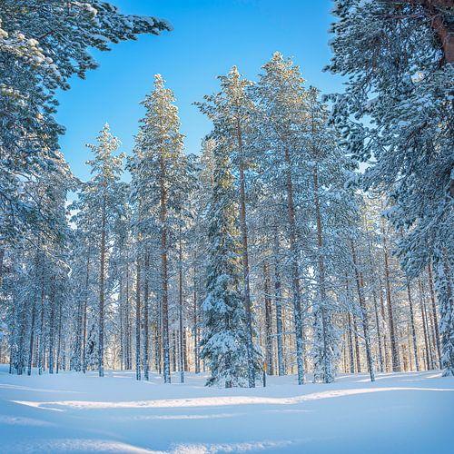 Laat zonlicht achter de hoge, besneeuwde dennenbomen, Finland