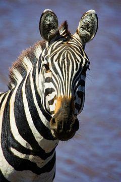 Burchell Zebra van Peter Michel