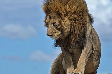 Männlicher Löwe auf den Ngongkopjes der Serengeti, Tansania. von Louis en Astrid Drent Fotografie