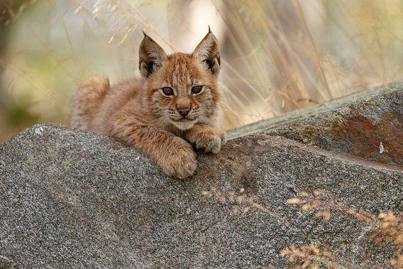 Lynx welp rustend van Menno Schaefer