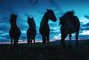 Paarden op IJsland in de schemering van Tom Rijpert