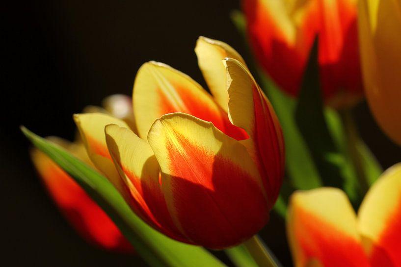 Lechtende Tulpen van Rosi Lorz
