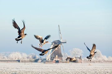 Canadese ganzen vliegen op bij molen in de winter van Frans Lemmens