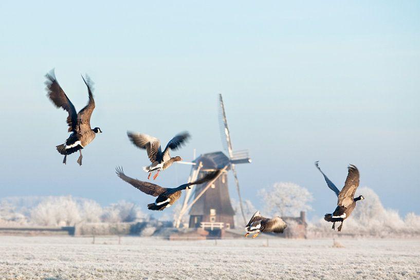 Les oies canadiennes s'envolent près d'un moulin à vent en hiver sur Frans Lemmens