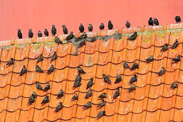 Gruppe von Stare auf einem Dach vor dem Leuchtturm von Texel. von Beschermingswerk voor aan uw muur