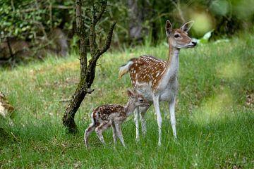 neugeborener Bambi von Ed Klungers